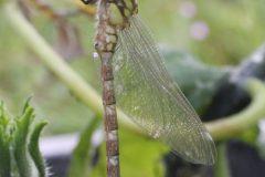 Frisch geschlüpfte Libelle mit Larvenhaut