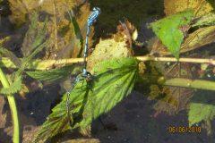 Hufeisen-Azurjungfer bei der Eiablage