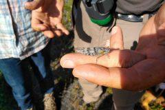 Heuschrecken-Exkursion - Blauflügelige Sandschrecke (in Bayern Rote Liste 1 - vom Aussterben bedroht, in D Rote Liste 2 - stark gefährdet) (© L. Crasser)